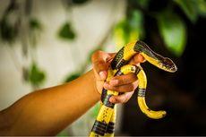 Indonesia Habitat 360 Spesies Ular, Peneliti Ungkap Cara Hidup Damai dengan Mereka