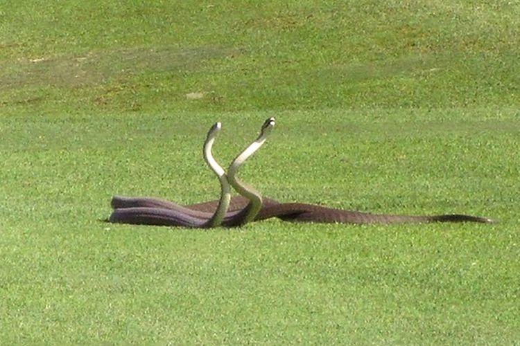 Pertarungan dua ular mamba hitam untuk mendapatkan pasangan.