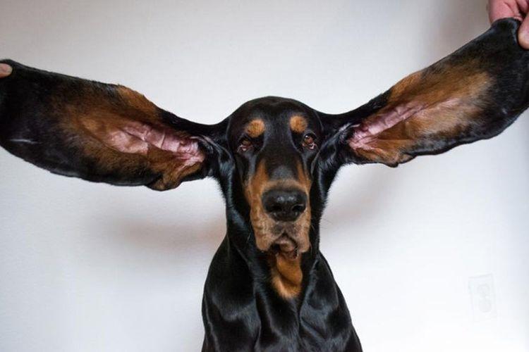 Lou, seekor anjing di Amerika Serikat (AS), memecahkan rekor dunia Guinness World Record sebagai anjing dengan kuping terpanjang.