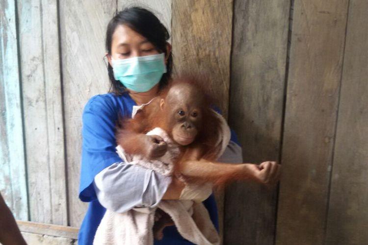 Bayi orangutan bernama Langkis digendong petugas rehabilitasi Nyaru, Menteng, Palangka Raya.