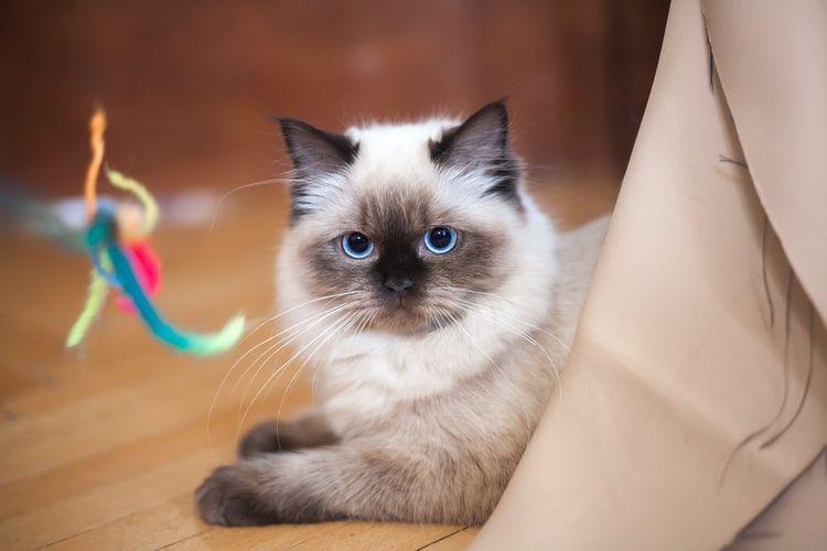 Ilustrasi kucing Birman
