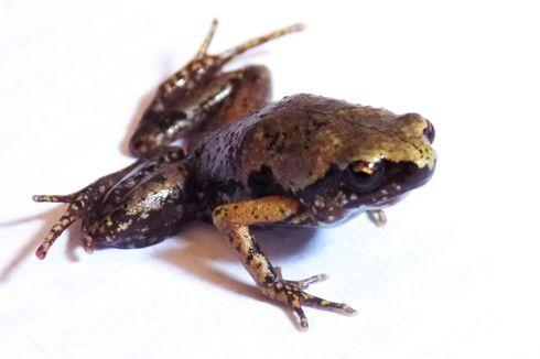 Spesies Katak Baru Endemik Sumatera, Ahli Konsen pada Konservasi Hutannya