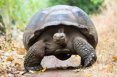 Diego, Kura-kura Raksasa Galapagos yang Punya 800 Keturunan