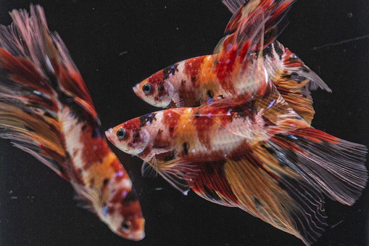 Mau Pelihara Ikan Cupang Ini Hal Yang Harus Diketahui Halaman All Kompas Com