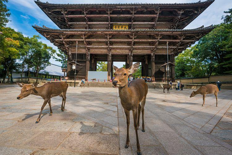 Kota Nara terkenal sebagai situs warisan dunia UNESCO dengan bangunan kuil-kuil yang megah dan Taman Rusa-nya.