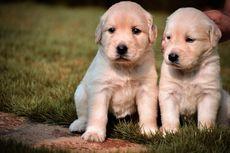 Ternyata, Anjing Memang Lahir untuk Berinteraksi dengan Manusia