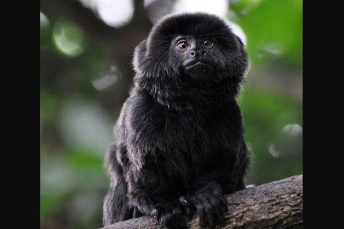Sempat Diculik dari Kebun Binatang, Seekor Monyet Langka Ditemukan Selamat