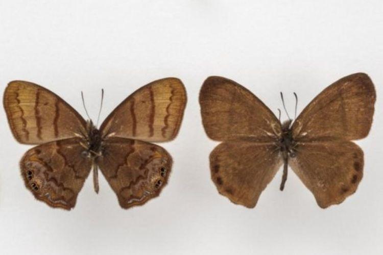Cyllopsis tomemmeli