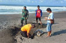2 Hari Berturut-turut, Penyu Ditemukan Mati di Pantai Bantul dan Gunungkidul