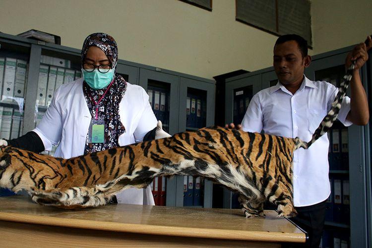 Taing Lubis, dokter hewan Badan Konservasi Sumber Daya Alam (BKSDA) Aceh sedang mengindentifikasi kulit harimau barang bukti yang diserahkan oleh Pengadilan Tapak Tuan, Kabupaten Aceh Selatan.  Rabu (12/12/2018).  kulit harimau sumatera yang berjenis kelamain jantan usia yang diperkirakan 30 tahun ini sebelumnya disita oleh Polres Aceh Selatan dari tersangka penampung kulit harimau yang telah divonis oleh majelis hakim setempat bersalah dan menjalani hukuman empat tahun kurungan penjara.