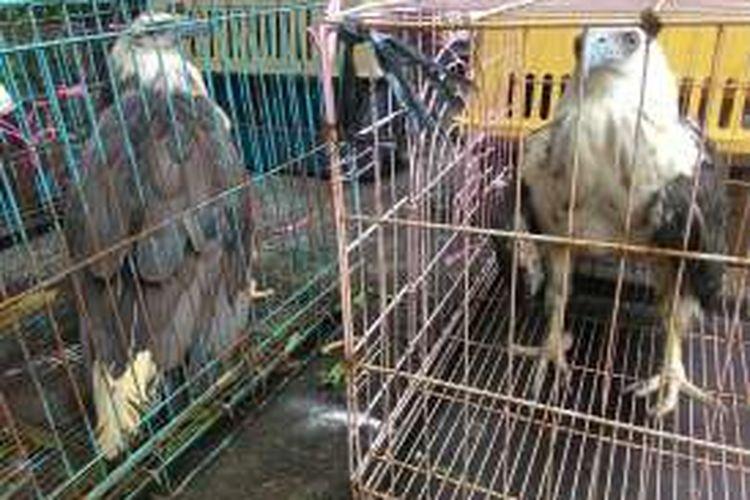 BKSDA Sita Elang Bondol dari Tarekot Malang