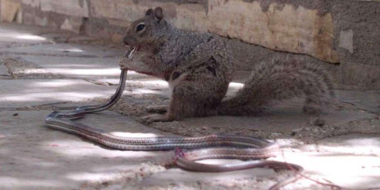 Tupai memakan ular.
