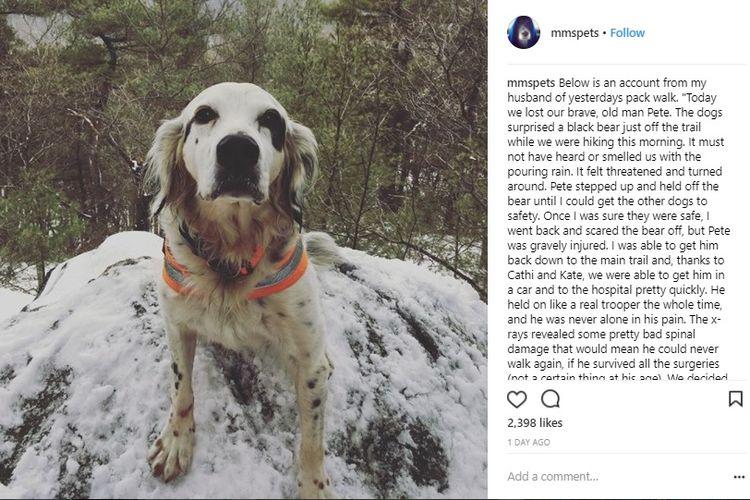 Kisah anjing heroik, Pete, yang melindungi majikannya dari serangan beruang saat tengah berjalan-jalan di gunung menjadi pembicaraan di dunia maya.