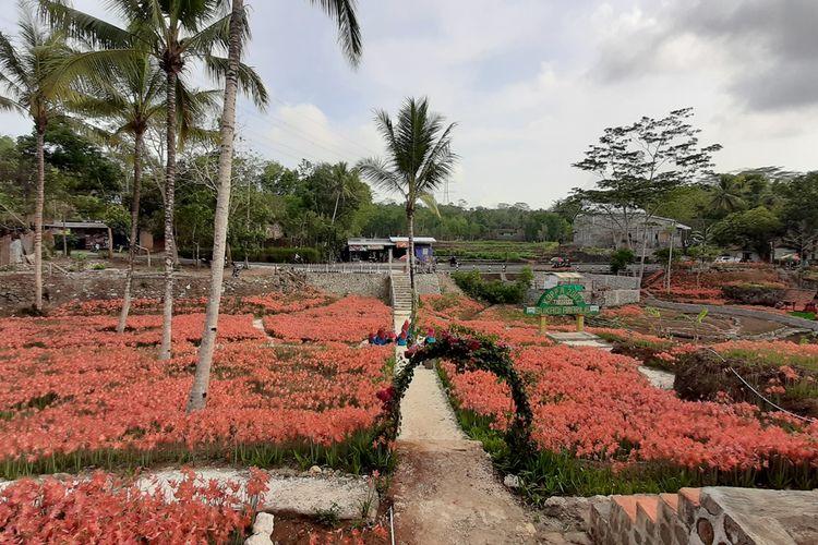 Kebun Bunga Amarilis, Patuk, Gunungkidul