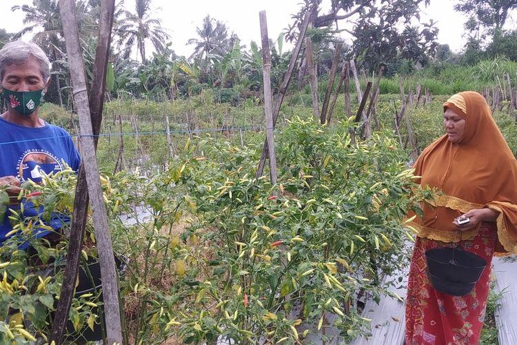 Suasana panen cabe di sawah milik Arifin yang berada di Desa Jineng, Lombok Timur NTB, Selasa (30/3/2021)
