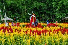Warna-warni Taman Bunga Celosia Mekar sampai Boyolali