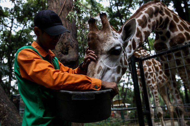 Pengasuh hewan saat memberikan makan jerapah di Kebun Binatang Ragunan, Jakarta Timur, Rabu (20/3/2019). Makanan-makanan yang diberikan adalah sayuran wortel, kacang panjang, dan daun kupu-kupu.