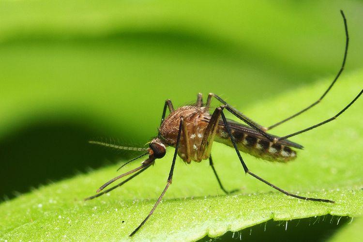 Ilustrasi nyamuk.