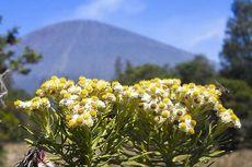 Alasan Bunga Edelweis Tak Boleh Dipetik, Kenapa?
