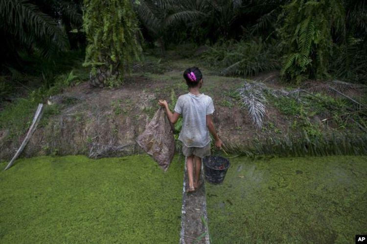 Seorang anak membawa biji sawit yang dikumpulkan dari tanah melintasi anak sungai di perkebunan kelapa sawit di Sumatera, Senin, 13 November 2017.