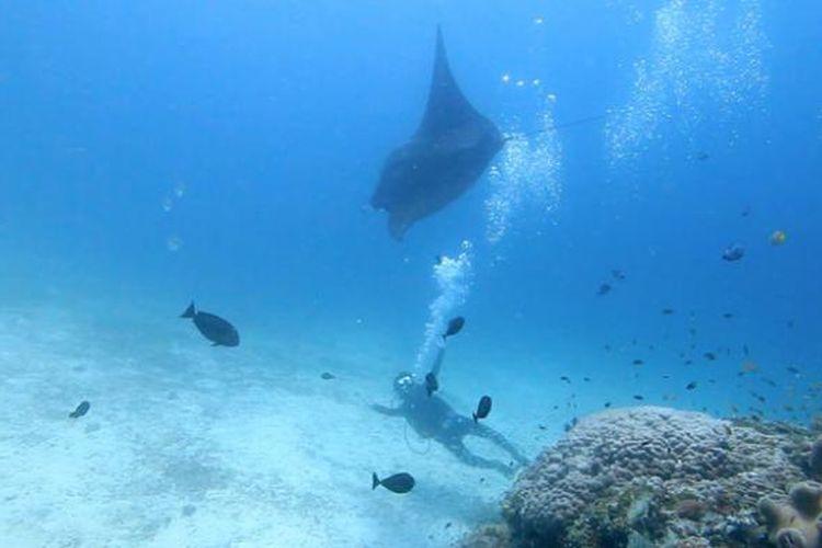 Berenang bersama ikan pari manta di perairan Raja Ampat, Papua.