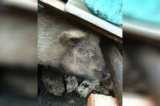 Babi Ajaib yang Selamat dari Gempa China 2008 Ini Dikabarkan Sekarat