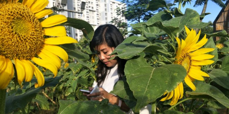 Pengunjung di antara bunga matahari yang sedang bermekaran di Arumdalu Farm, Serpong, Tangerang, Banten.