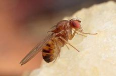 Serba-serbi Hewan, Lalat Buah Lebih Agresif Saat Lapar