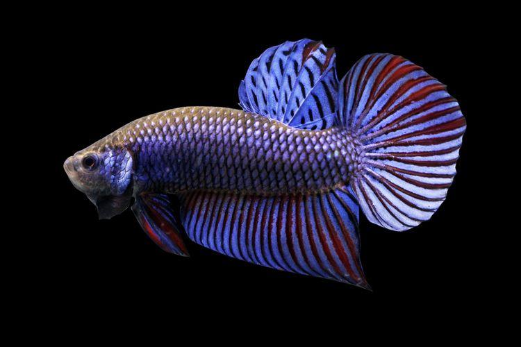 Ilustrasi ikan cupang plakat.