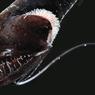 Hindari Terlihat Mangsa saat Berburu, Ikan Ini Bisa Menghilang
