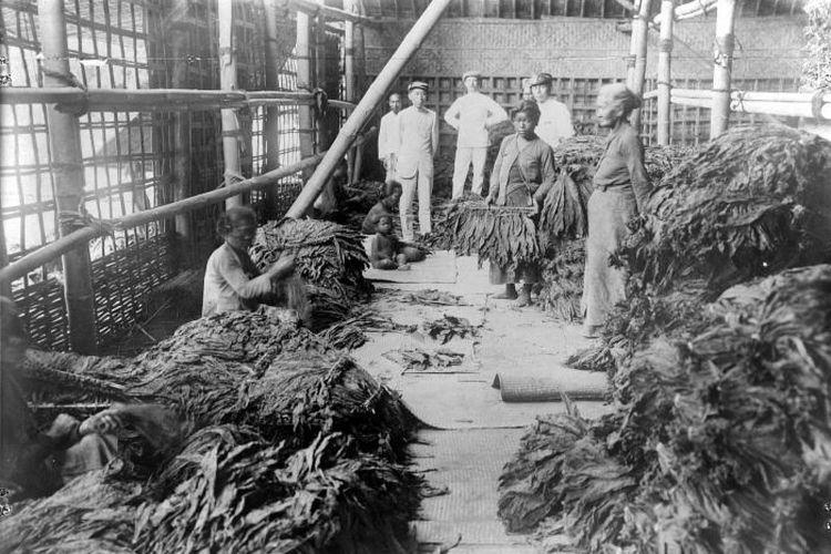 Rakyat di Jawa menyortir daun tembakau pada masa kolonial Hindia Belanda.
