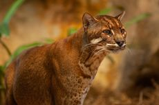 Cerita Kucing Emas Langka, Luka Terjerat Perangkap Babi, Dehidrasi dan Mati
