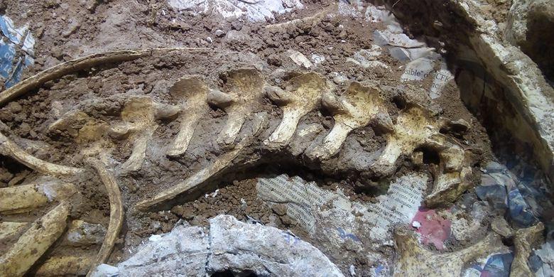 Tulang belakang dan leher rusa yang lengkap ditemukan dalam sisa-sisa fosil hewan yang hidup dua setengah juta tahun yang lalu