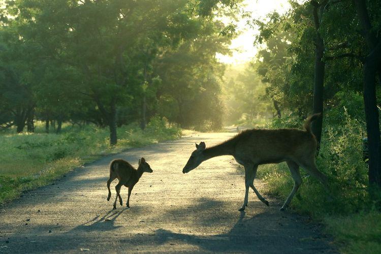 Rusa timor (cervus timorensis) beraktivitas di savana Taman Nasional Baluran, Situbondo, Jawa Timur, Jumat (5/6/2020). Ditutupnya pariwisata di TN Baluran pada masa Pandemi COVID-19, berdampak pada perilaku satwa yang biasanya beraktivitas di dalam hutan saat ini mudah dijumpai di padang savana karena tidak adanya wisatawan. ANTARA FOTO/Budi Candra Setya/pras.