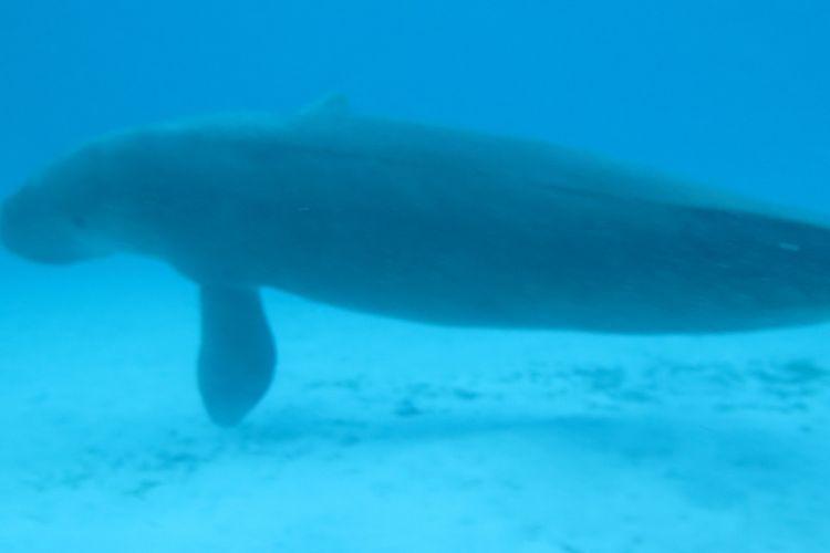 Duyung yang memiliki nama ilmiah Dugong dugon.