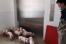 China Siapkan Apartemen Babi untuk Hindari Wabah Flu dari Afrika
