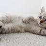 Apakah Kucing Perlu Mandi?