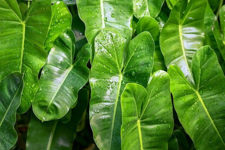 Ilustrasi tanaman hias philodendron.