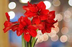 4 Fakta Menarik Bunga Amarilis yang Belum Diketahui
