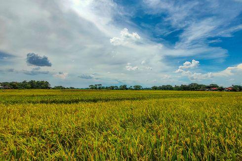 Realisasi Asuransi Usaha Tani Padi di Sulteng Capai 20.959,65 Hektar