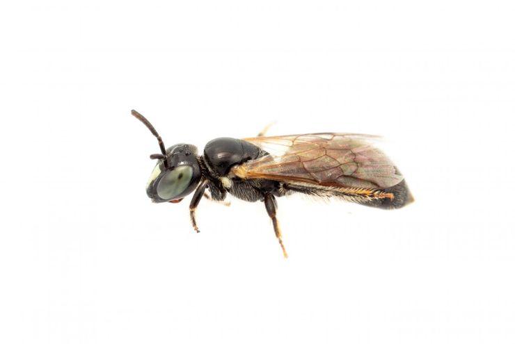 Dikira Punah, Lebah Langka Australia Ditemukan Lagi Setelah 100 Tahun