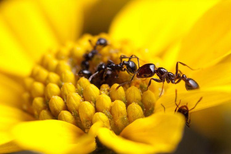 Semut Solenopsis xyloni
