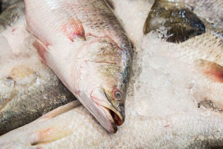 Ilustrasi ikan barramundi segar