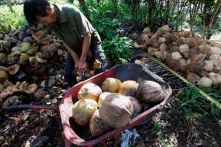 Kelapa hasil petikan lalu di kupas kulitnya di Padang Pariaman, Sumatera Barat, Senin (15/7/2013). Kelapa menjadi salah satu hasil utama di wilayah tersebut.