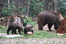 Perkenalkan, 2 Bayi Beruang Hasil Pengembangbiakan di Taman Safari Prigen