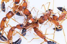 Untuk Jadi Ratu, Semut Ini Kecilkan Otak dan Besarkan Ovarium