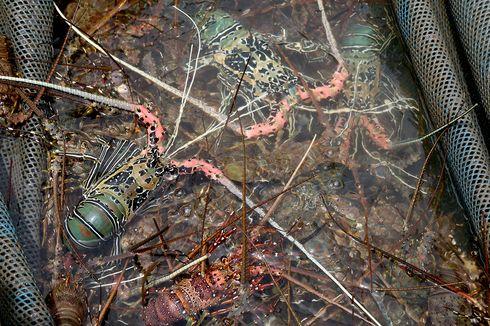 Budidaya Lobster Pakai Kerangkeng Dinilai Lebih Baik ketimbang Keramba Jaring Apung