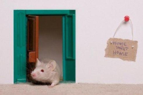 Tak Mau Rumah Anda Kebobolan Tikus? Ikuti Cara Ini...