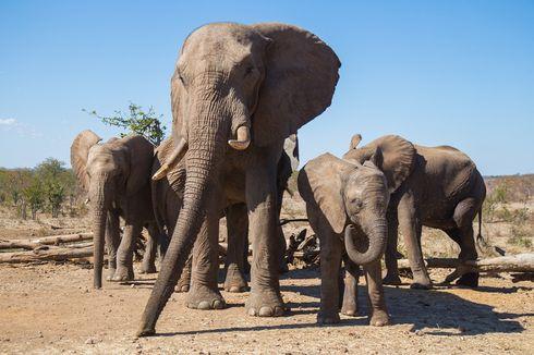 Zimbabwe Sudah Jual Hampir 100 Ekor Gajah ke China dan Dubai