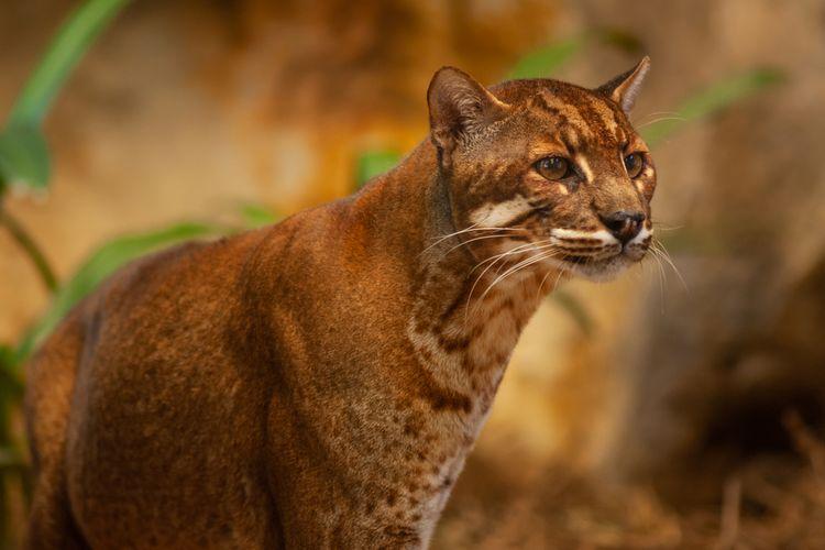 Kucing Emas Satwa Langka Dilindungi Yang Habitatnya Hanya Ada Di Wilayah Sumatera Halaman All Kompas Com